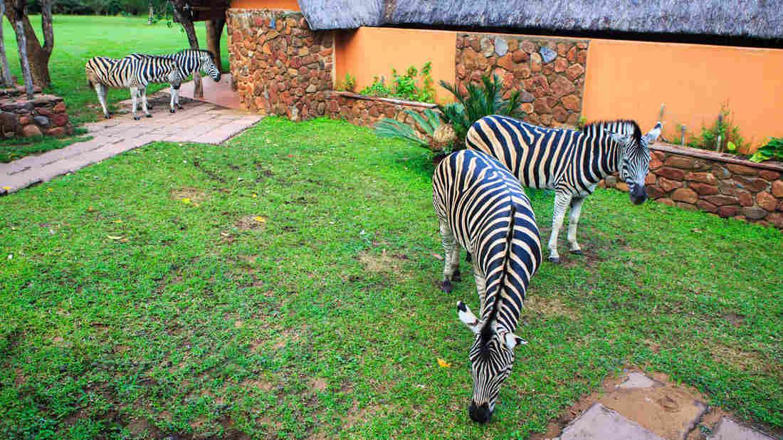 Outstanding Zebras for Sale