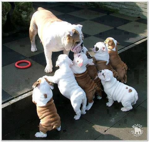 Buy Quality English Bulldog Puppies whatsapp… +1 318 406 1294  Quality English bulldog puppies for sale. These pups are large boned, straight backed black and tan puppies.  They have been bred for health and temperament. They are very outgoing,friend