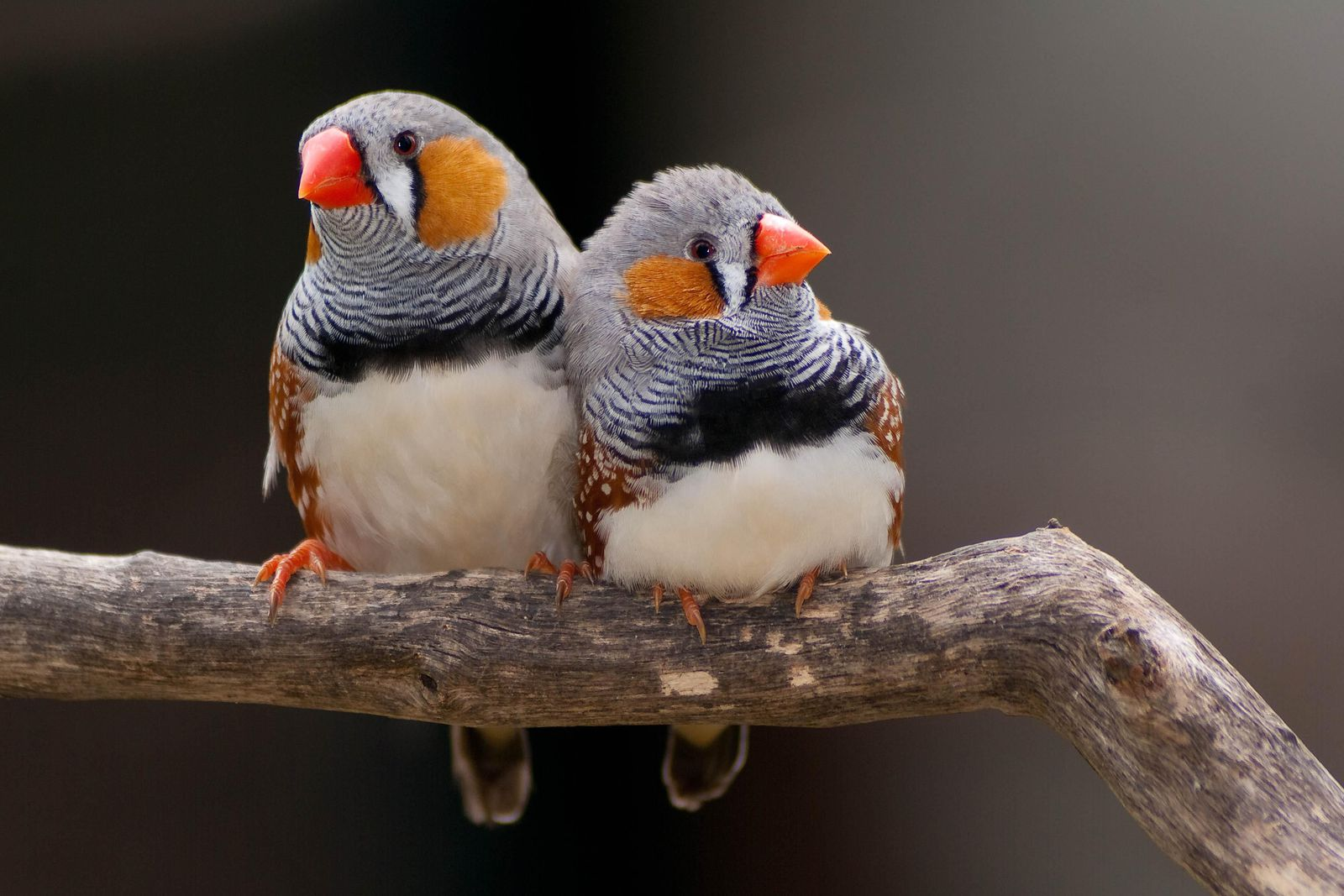 I am Looking for European Goldfinches