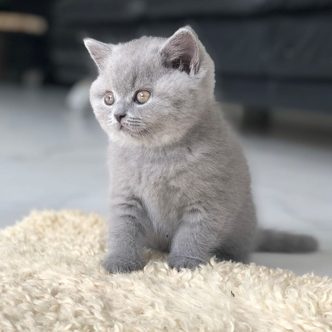 full breed british shorthair kittens litter
